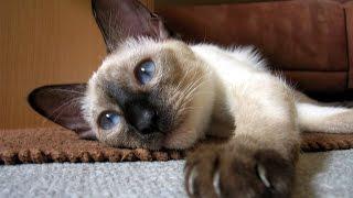 Тайская Кошка, Породы кошек, описание, уход