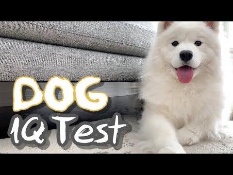 testing my samoyed's intelligence (dog iq test)