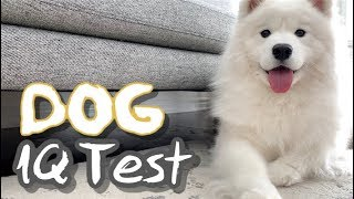 testing my samoyed's intelligence (dog iq test)