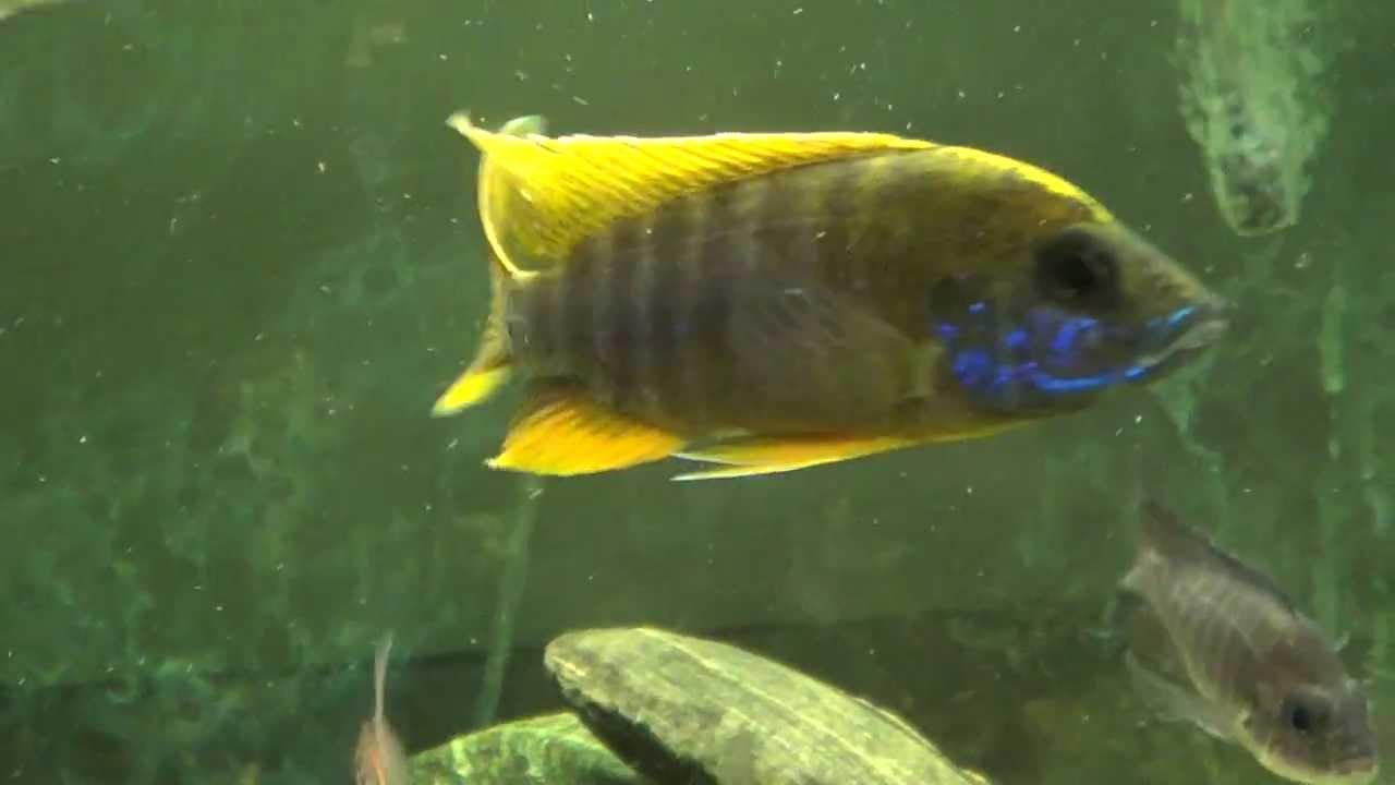 lemon jake peacock cichlid - photo #10