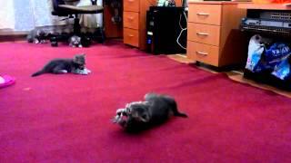 Шотландские котята с нетерпением ждут своих новых владельцев!