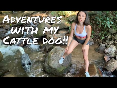 My Cattle Dog Comes Hiking | Australian Cattle Dog Vlog | Doggy Lifestyle Video
