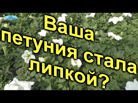 Почему петуния бывает липкой? Три причины. | выращивание | петуния | почему | липкая