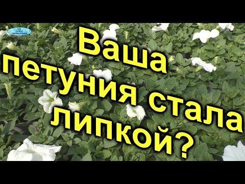 Вопрос: Липкие листья на цветах.Что это Как избавиться?