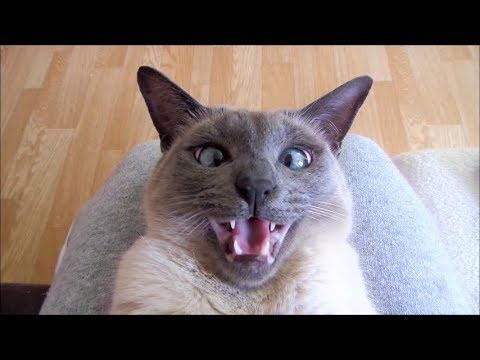Yozora (Siamese Cat) Playing & Talking  猫 -  シャム