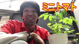 ミニトマトの苗をもらったのだ!だから育てて食べるのだ!そう!獰猛にね!