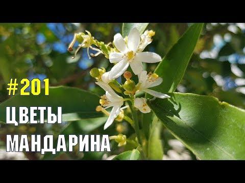 Мандарины цветут | Жизнь в Адлере
