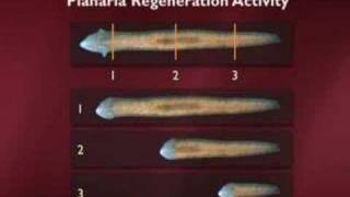 Adult Stem Cells and Regeneration Part 2 of 6