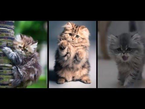 Popular Cat Breed - Persian Cat