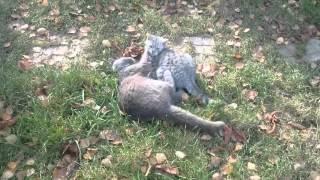 Коты дерутся у себя на участке прикол