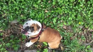 Repeat youtube video Juju the English Bulldog Rolling Down the Hill