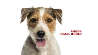 Parson russell terrier  Atlas plemen  Tlapka TV