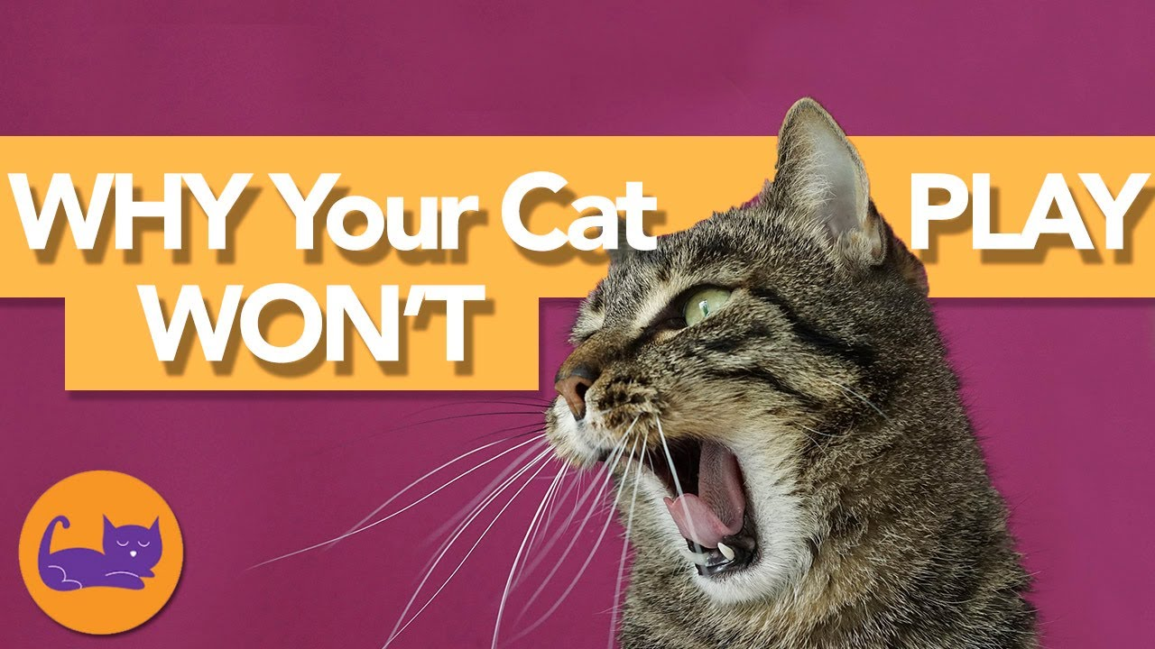 Why Is My Cat Acting STRANGE? Reasons Your Cat Doesn't Want to Play