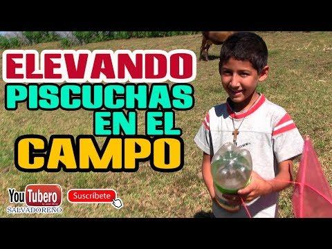 Elevando piscuchas en el campo salvadoreño, vida del campo, el salvador SVL SV YS