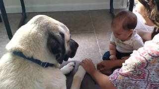 Kangal With A Baby