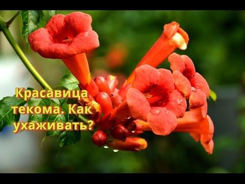 Вьющиеся растения.  Текома или кампсис  лиана для живой изгороди.