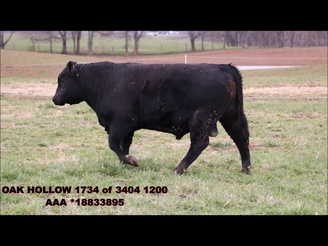 Oak Hollow Angus Lot 8