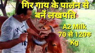 देसी गाय पालन कैसे शुरू करे। Indian Desi Gir Cow Dairy Farm In India