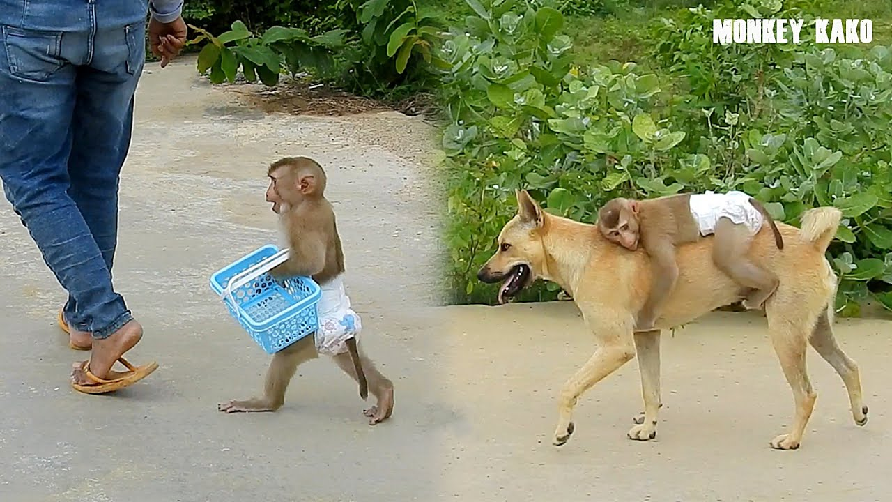 Smart Monkey Kako Carrying Basket Go Out Side With Mom And Ride Dog By The Way