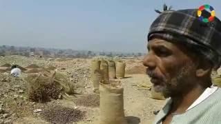 فيديو وصور|انتهاء موسم البلح بنجع حمادي - النجعاوية