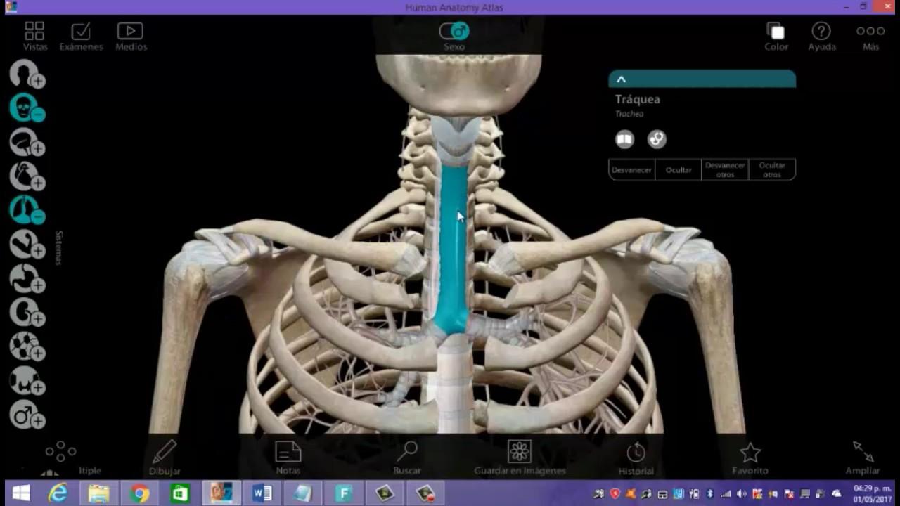 Anatomía | Traquea - YouTube
