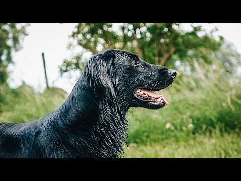 Flatcoated Retriever | My Next Dog