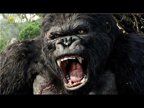 National Geographic Documentary   Mountain Gorilla   BBC Nat Geo Wild