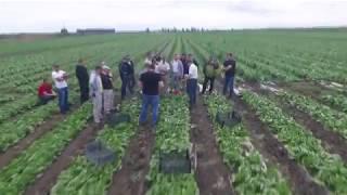производство салатов Rijk Zwaan в открытом грунте.