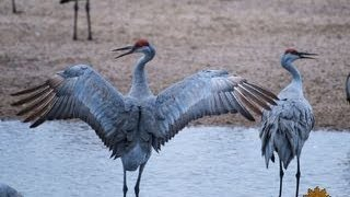The magnificent sandhill crane migration