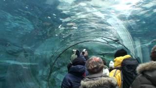 北海道 旭川市にある「旭山動物園」の「ぺんぎん館」の様子です。この日は、...