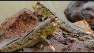 كيفية إنشاء لل mudskipper في الحوض