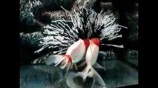 """нерест золотых рыбок! """"красных шапочек"""" (самец - оранда, самка - риукин)"""