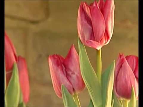 wieso wachsen tulpen in der vase weiter youtube. Black Bedroom Furniture Sets. Home Design Ideas