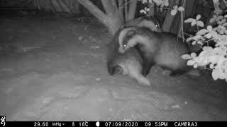 Some mutual grooming between badger boar and sow