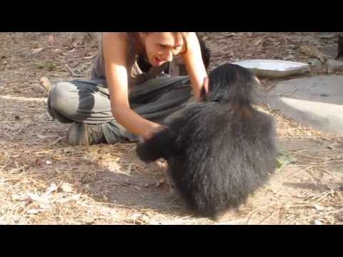Au Centre de Conservation des Chimpanzés de Faranah (Guinée Conakry)