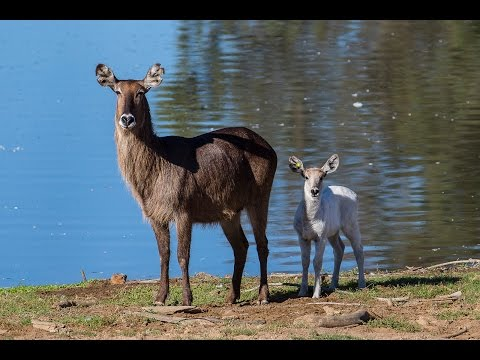 Introducing Luke The Leucistic Waterbuck Calf