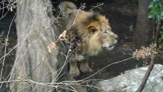 Asiatic Lions!!! A huge male Asiatic lion roaring. Pump Up the Volu...
