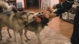 Siberian Husky Play Time! Shiloh And Shelby
