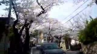 六甲山の桜トンネルは、満開です!