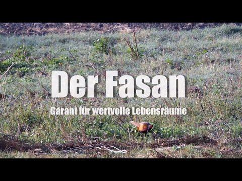 Der Fasan - Garant für wertvolle Lebensräume