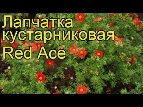 Лапчатка кустарниковая Ред Айс (Red Ace). Краткий обзор, описание характеристик, где купить саженцы
