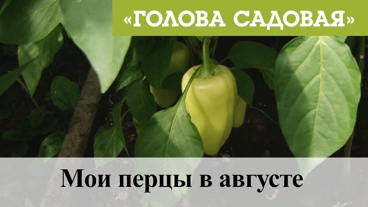 Голова садовая - Мои перцы в августе