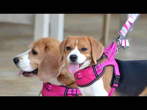 Beach Resort Vacation With Beagles II Uran Plaza Dog Friendly Resort Review