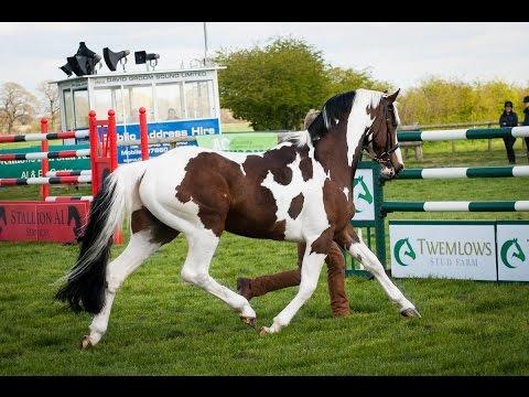 Homozygous Dutch Warmblood Tobiano Stallion At Stud Solaris Buenno