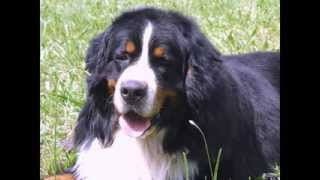 Bernese Mountain Dog Breed :details Of Bernese Mountain Dog:information:images:news Bernese Mountain