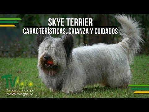 Skye Terrier: Caractersticas, Crianza y Cuidados - TvAgro por Juan Gonzalo Angel