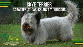 Skye Terrier: Características, Crianza y Cuidados  TvAgro por Juan Gonzalo Angel