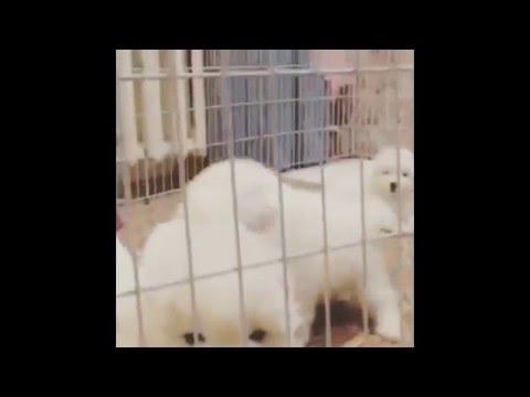 Funny Samoyeds [HD]