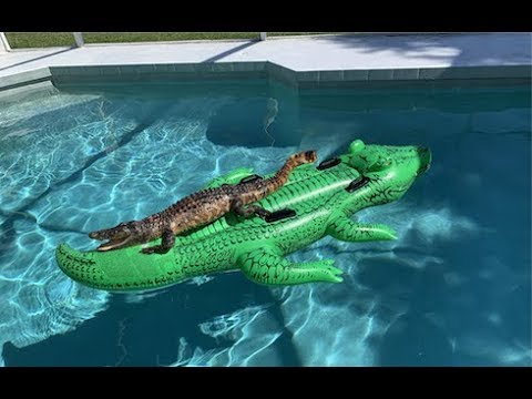 Alligator Found Relaxing On Alligator Pool Float In Airbnb Pool Youtube