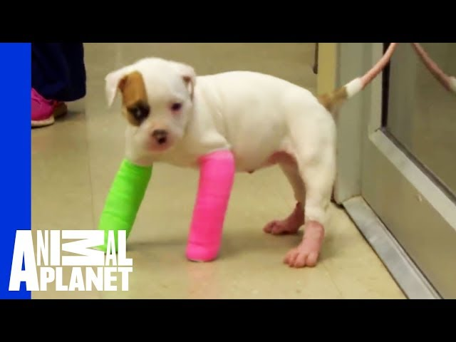 Remember Blanche? Cute Puppy in Casts | Pitbulls & Parolees